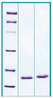 PA532 - REG1A