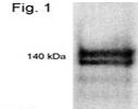 SP5309P - NRIP1