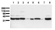 AM00139PU-N - Scramblase 1 / PLSCR1