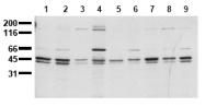 AM00140PU-N - SHC1 / SHC