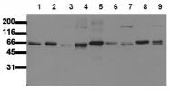 AM00143PU-N - SHC1 / SHC