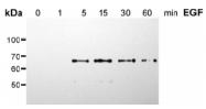 AM00144PU-N - SHC1 / SHC