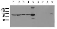 AM00158PU-N - Vimentin