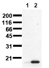 AM00101PU-N - TP53 / p53