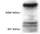 SP5315P - CREB-binding protein