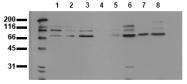 AM00028PU-N - ANKRD6 / Diversin