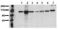 AM00023PU-N - Catenin beta-1