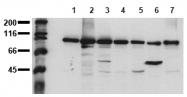 AM00022PU-N - Catenin beta-1