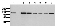 AM00019PU-N - Catenin beta-1