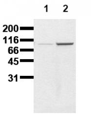 AM00015PU-N - Catenin beta-1