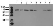AM00014PU-N - Catenin alpha-1 / CTNNA1