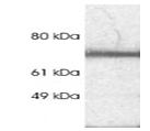 SP5287P - Rabphilin-3A / RPH3A