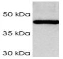 SP5372P - PSMC4 / TBP7