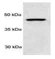 SP5371P - PSMD4 / MCB1