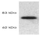 SP5349P - SLC24A2
