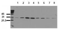 AM00070PU-N - HSPB1 / HSP27