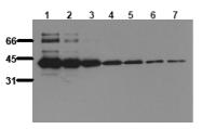 AM00088PU-N - Maltose Binding Protein Tag / MBP-Tag