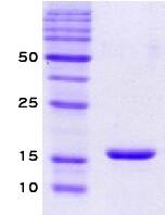 SA6001 - Alpha-Synuclein / SNCA