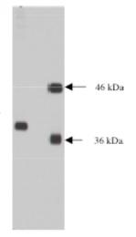 AM05343PU-N - NPDC1