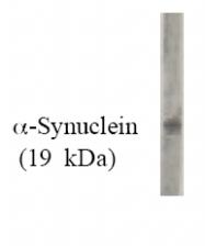 AM05346PU-N - Alpha-Synuclein / SNCA