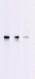AM05348PU-N - AKT1 / PKB