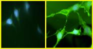 AM05369PU-N - AKT1 / PKB