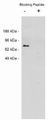 AP05263PU-N - Netrin-1