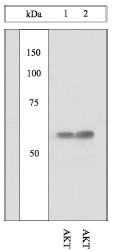 AP05267PU-N - AKT1 / PKB