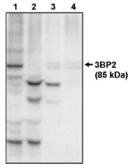 AP05082PU-N - SH3BP2