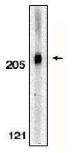 AP05086PU-N - Acinus / ACIN1