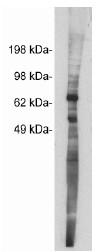 AP05263SU-N - Netrin-1