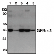 AP05099PU-N - GFRA3 / GDNFR-alpha 3