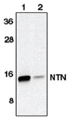 AP05100PU-N - Neurturin