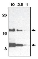 AP05104PU-N - Eotaxin / CCL11