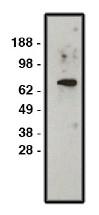 AP05294PU-N - SLC9A1 / NHE1