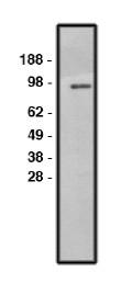 AP05294SU-N - SLC9A1 / NHE1