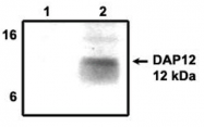 AP05157PU-N - TYROBP / DAP12
