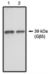 AP05162PU-N - Transducin beta chain 5 (GNB5)