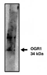 AP05165PU-N - GPR68 / OGR1