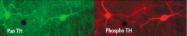 AP05192PU-N - Tyrosine 3-monooxygenase (TH)