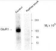 AP05194PU-N - Glutamate receptor 1 / GLUR1