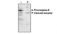 AM05286PU-N - Caspase-8 / FLICE