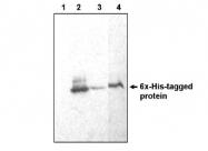 AM05288PU-N - 6xHistidine Epitope Tag
