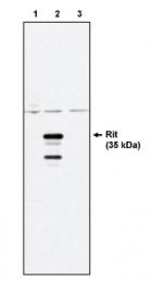 AM05290PU-N - RIT1