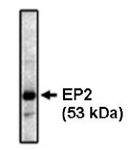 AM05325PU-N - PTGER2