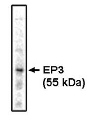 AM05326PU-N - PTGER3