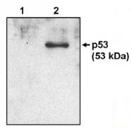 AM05327PU-N - TP53 / p53