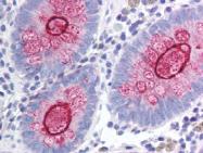 AP07219PU-N - CD227 / Mucin-1 / MUC1
