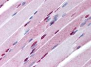 AP07328PU-N - Sal-like protein 4 (SALL4)