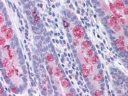 AP07365PU-N - CD281 / TLR1